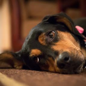 Hard at Work by Jarrod Kudzia - Animals - Dogs Portraits ( ears, dog, eyes,  )