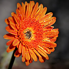 Orange Gerbera by Pieter J de Villiers - Flowers Single Flower