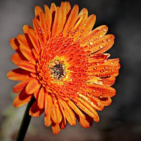 Orange Gerbera by Pieter J de Villiers - Flowers Single Flower