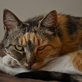 Lucy by Barbara Springer - Animals - Cats Portraits ( cat, ginger, tortoisshell, white, green eyes, paws, eyes )