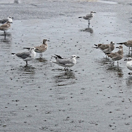 Seagulls in Parking Lot by Daryl Peck - Novices Only Street & Candid ( bird, canon, parking lot, seagull, novice, outdoor, seagulls, puddle, birds, rain, city )