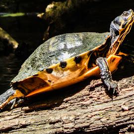warming up by Deborah Murray - Animals Reptiles ( warm, wood, summer, yellow, reptile, log, turtle, sunning )
