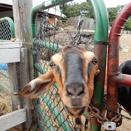 Goat in a Gate by Kristine Nicholas - Novices Only Pets ( farm, fence, goat, animal, gate )