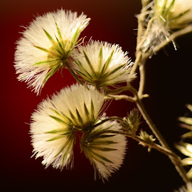 Dry flowers by Prasanta Das - Nature Up Close Other plants ( small dry. flowers, close up )