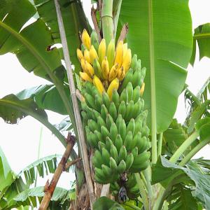 tips cara menanam pisang agar berbuah lebat For PC / Windows 7/8/10 / Mac – Free Download