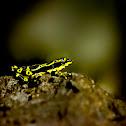 Harlequin Frog (rana arlequín)