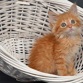 Stinker in a Basket by Dan Justes - Animals - Cats Kittens