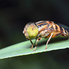 Apokaba by Just Arief - Animals Insects & Spiders ( macro photography, fly, insect, natural, close up )