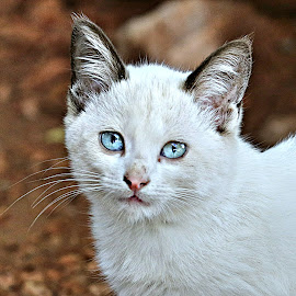 Tips by Pieter J de Villiers - Animals - Cats Kittens ( cats, mammals, animals, pet, south africa, portraits )