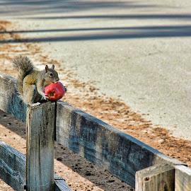 An Apple a Day by Lourdes Olartecoechea - Animals Other Mammals ( apple, squirrel, nature, squirrels, park, squirrel eating )