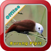 Master Kicau Burung Pipit APK for Bluestacks