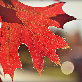 Red captured by Rima Biswas - Nature Up Close Leaves & Grasses ( red, nature, fall, leaf, bokeh, close up )