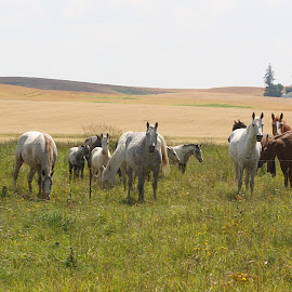 Enjoying the summer pastures by Darlene Neisess - Animals Horses ( pasture, spotted, equine, horses, grass, green, herd, horse, summer, appaloosas, indian pony,  )