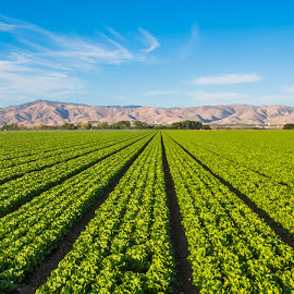 Lettuce Forever by Richard Duerksen - Nature Up Close Gardens & Produce ( kechuga, ca, lettuce, salinas valley, gonzales, lettuce field, usa )