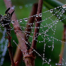 Dewdrops by Carmen Quesada - Nature Up Close Webs ( webs, nature, nature up close, spider, droplets )