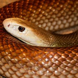Eastern Brown Snake by Mel Stratton - Animals Reptiles ( snake, eastern brown snake, brown, brown snake, eastern, reptile, eastern brown )