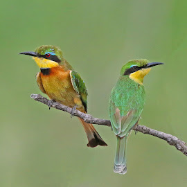 A Little Couple! by Anthony Goldman - Animals Birds ( bird, wild, nature, pair, south africa, wildlife, little, londolozi, bee-eater, sand river )