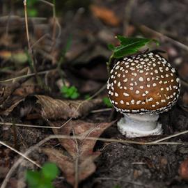 Newborn amanita muscaria by Irena Gedgaudiene - Nature Up Close Mushrooms & Fungi ( mushroom, brown )