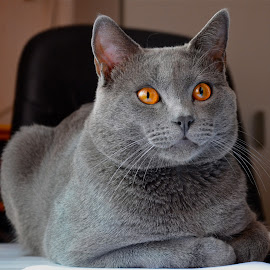 Hugo- Chartreux cat  by Serge Ostrogradsky - Animals - Cats Portraits