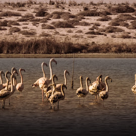 A Flamboyance Of Flamingos by Jacquie Woodburn - Novices Only Wildlife ( phoenicopterus, lagoon, diavasidia, greece, lefkada, wildlife, flamingos, birds, day-out,  )