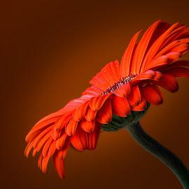 Gerbera by Joško Šimic - Flowers Single Flower
