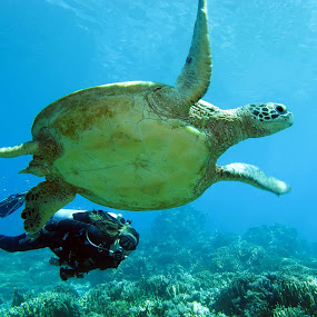 Turtle and Diver by Steven  Redmond - Landscapes Underwater ( diver, animals, coral, reef, underwater, green, tropical, fins, dive, wildlife, sea, interaction, tourism, ocean, travel, people, turtle, swimming, nature, scuba, reptile, diving )
