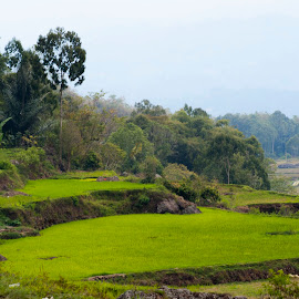 sawah hijau by Hartono Wijaya  - Novices Only Landscapes ( toraja, paddy field, nature, indonesia, landscape, travel photography )