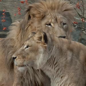 Lion 011.jpg