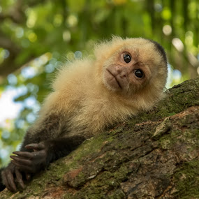 White-Headed Capuchin by Dbart ... - Animals Other Mammals ( tree, white-headed capuchin, costa rica, small, monkey )