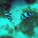 Banded Butterflyfish