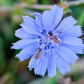 Chicory by Scott Stolsenberg - Flowers Flowers in the Wild ( chicory, blue, nature, closeup, insects, flower,  )
