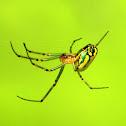 Orchard Orbweaver (Orchard Spider)
