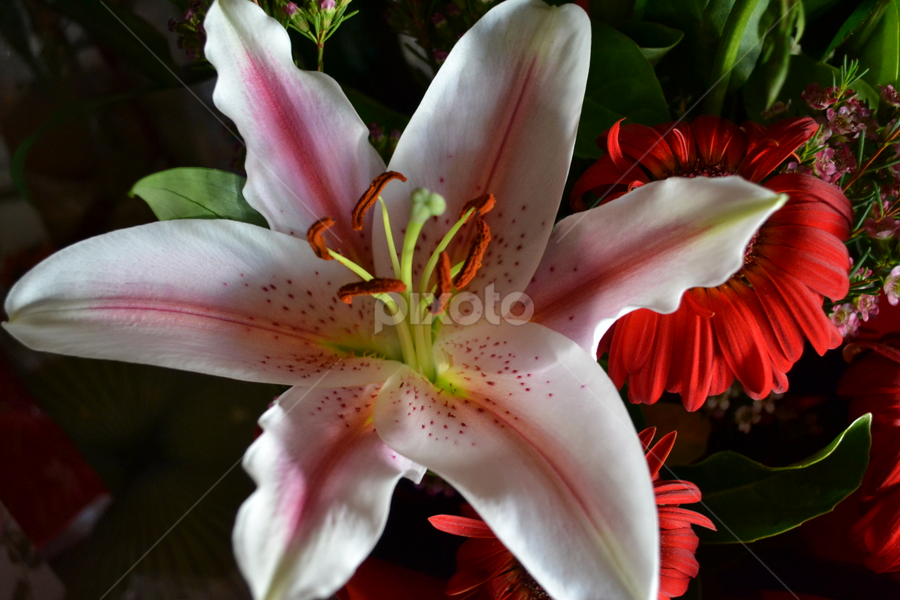 Lilly by Mark Zouroudis - Nature Up Close Flowers - 2011-2013 ( plant, white, pink, lilly, flower, , nature, flowers )