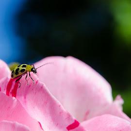 Ladybug by Gabriela Zandomeni - Nature Up Close Leaves & Grasses ( yellow dots, rose, pink, ladybug, closeup )