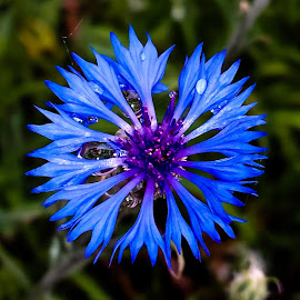 Deep Blue by Daniel Jensen - Flowers Single Flower ( wild flower, nature, flower closeup, blue flower, flower )