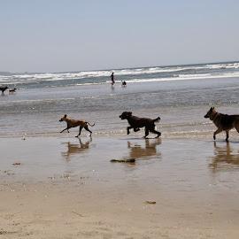 by Alireza Mosallaie - Animals - Dogs Playing (  )