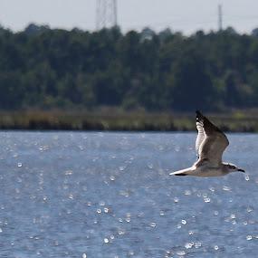 THE LONE SEAGULL by Mike Zegelien - Animals Birds ( bird, seagull, ocean, bird fishing, bird photography )