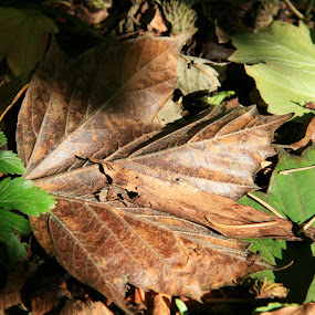Autumn leaf fall by Rich Malone - Nature Up Close Leaves & Grasses ( nature, autumn, green, brown, leaf, leaves )