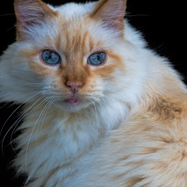 Bumble by Sheen Deis - Animals - Cats Portraits ( cats, ragdoll, animals, pets,  )