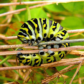 Black Swallowtail Caterpillar by Carol Milne - Animals Insects & Spiders