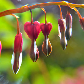 Open my bleeding heart by Nigel Hook - Flowers Flower Gardens (  )