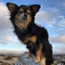 Mússa by Bjarklind Þór - Animals - Dogs Portraits