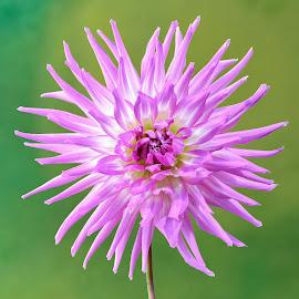 Purple Dahlia #8 by Jim Downey - Flowers Single Flower ( green, white, dahlia, purple, petals )