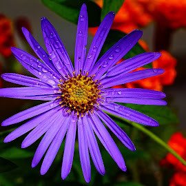 Amour d'aster by Gérard CHATENET - Flowers Flowers in the Wild (  )