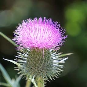 by Kathy Kehl - Flowers Flowers in the Wild ( wildflowers, wildflower, buds, bud, flowers, flower )