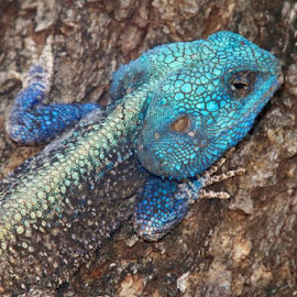 Mr Blue by Sheena Mentz - Animals Reptiles