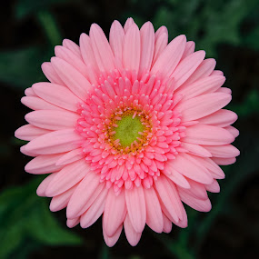 Gerbera Daisy by Pudjiyanto Oentoro - Nature Up Close Flowers - 2011-2013 ( pink, flowers, flower )