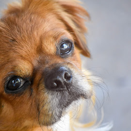 Diego by Ioana Cristina - Animals - Dogs Portraits ( pekingese, diego, puppy, dog, photography, portrait )