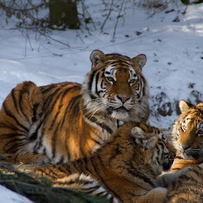 Amurtiger (Panthera tigris altaica) by Marc Zangger - Animals Lions, Tigers & Big Cats ( big cat, tigress, tiger cub, siberian tiger, amur tiger, tiger, family, wildlife, baby, panthera tigris altaica )