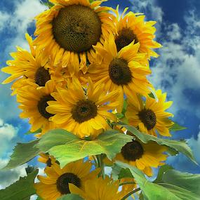 Super Tall Sunnies by Corinne Noon - Flowers Flower Gardens ( nature, flower heads, sunflowers, flower gardens, yellow, big, nine feet, tall,  )